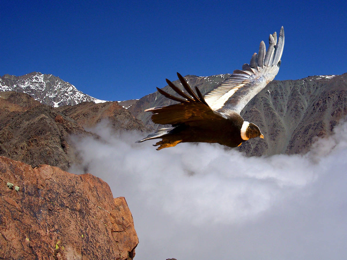 Andean Condor. From one of the lookouts